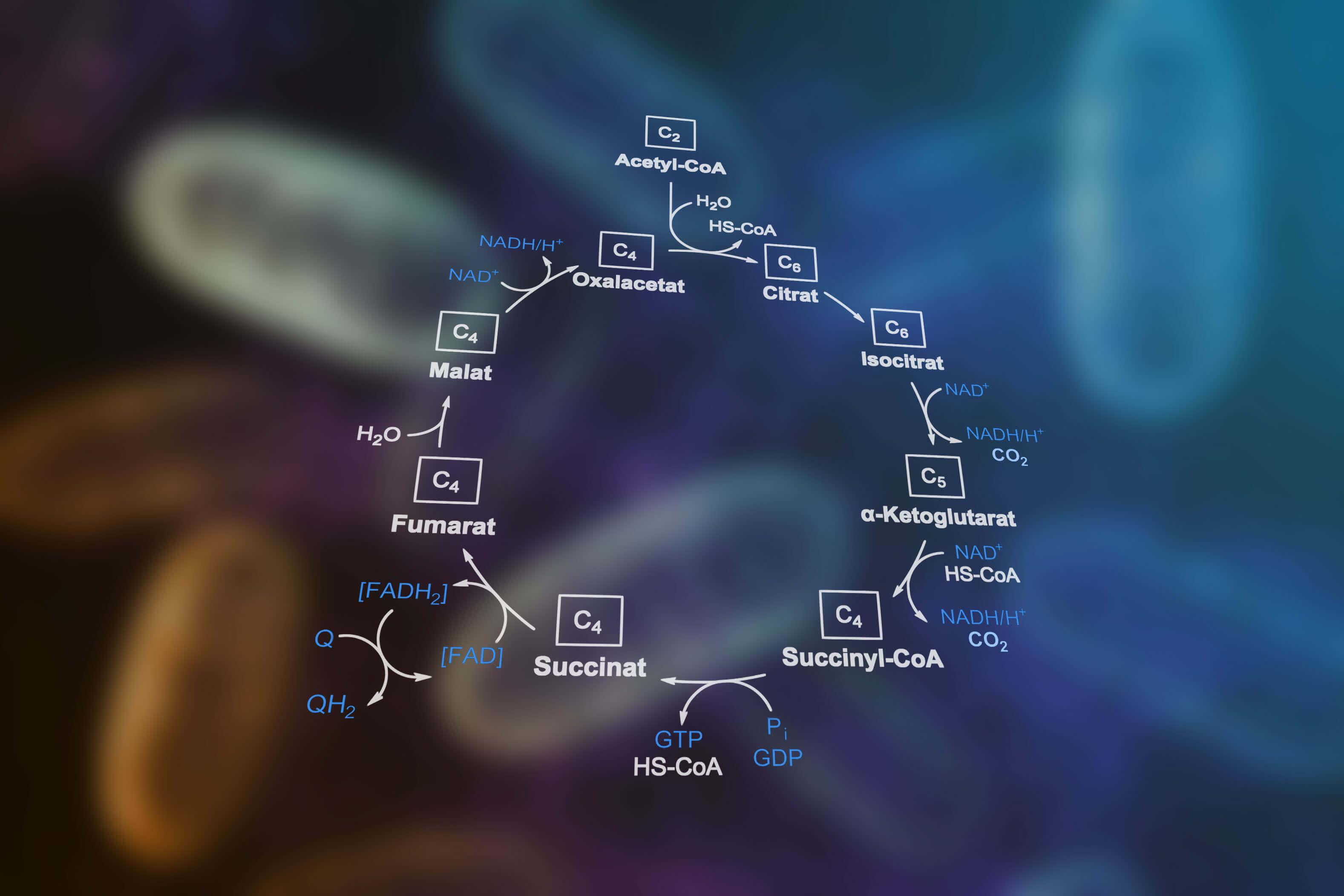 Der Citratzyklus – Energiestoffwechsel im Körper