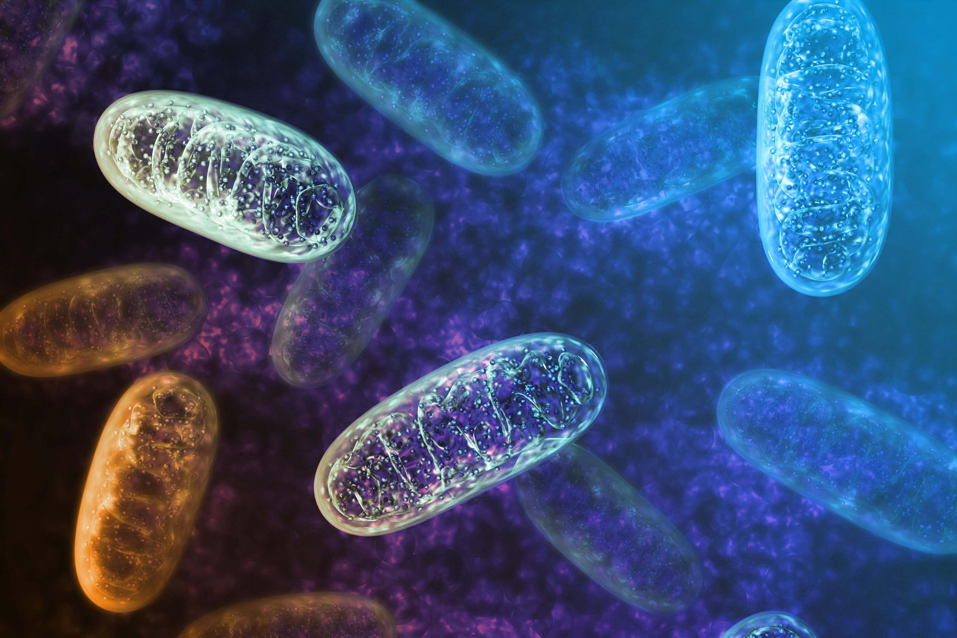 Mitochondrien – Die Kraftwerke im menschlichen Körper